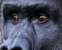 Ambam, a Western Lowland Gorilla, explores his enclosure at Port Lympne Wild Animal Park near Ashford, Kent, as keepers prepare to celebrate his 24th birthday on Monday.